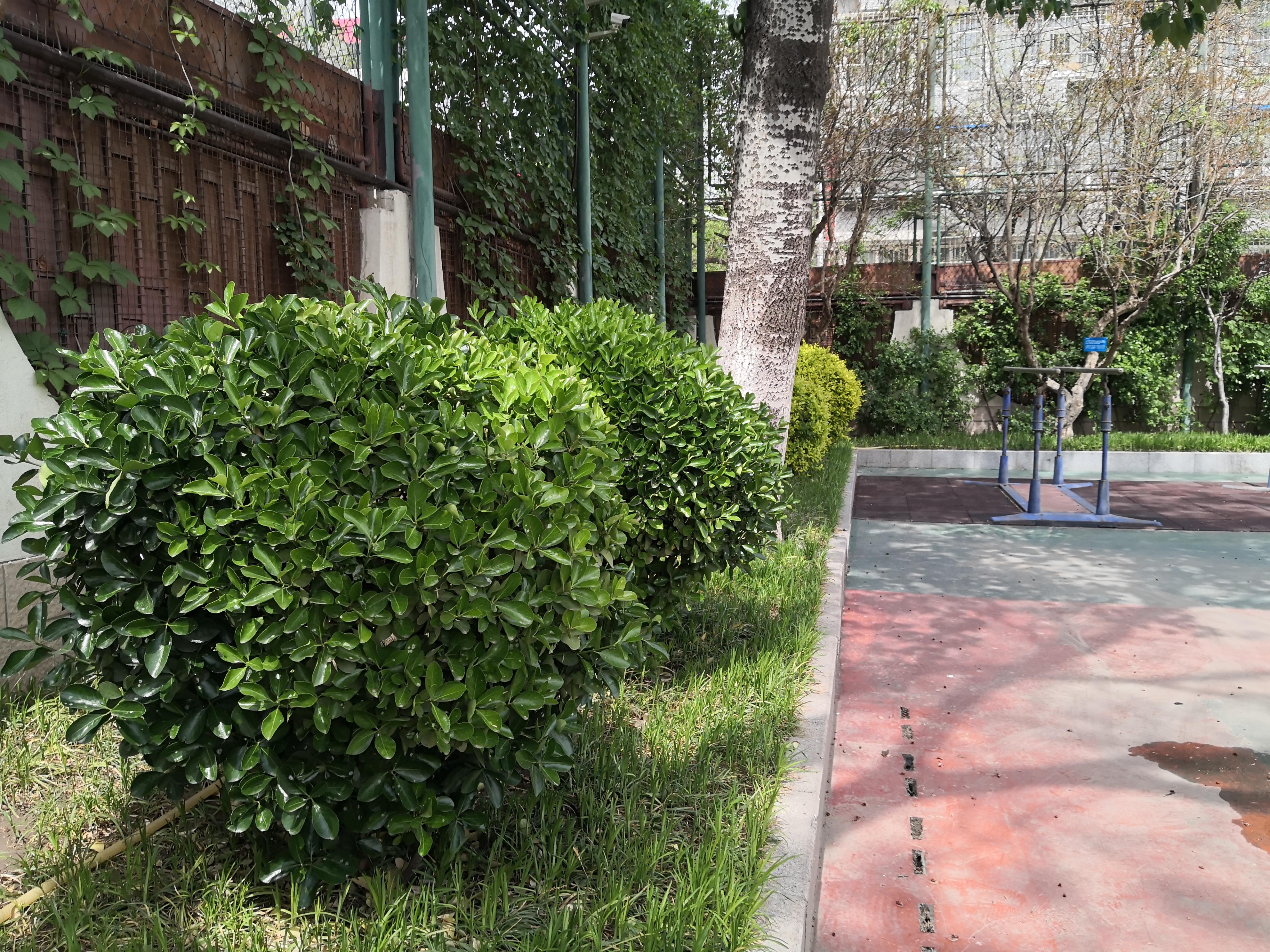 大叶黄杨球 (2012年3月栽种).jpg