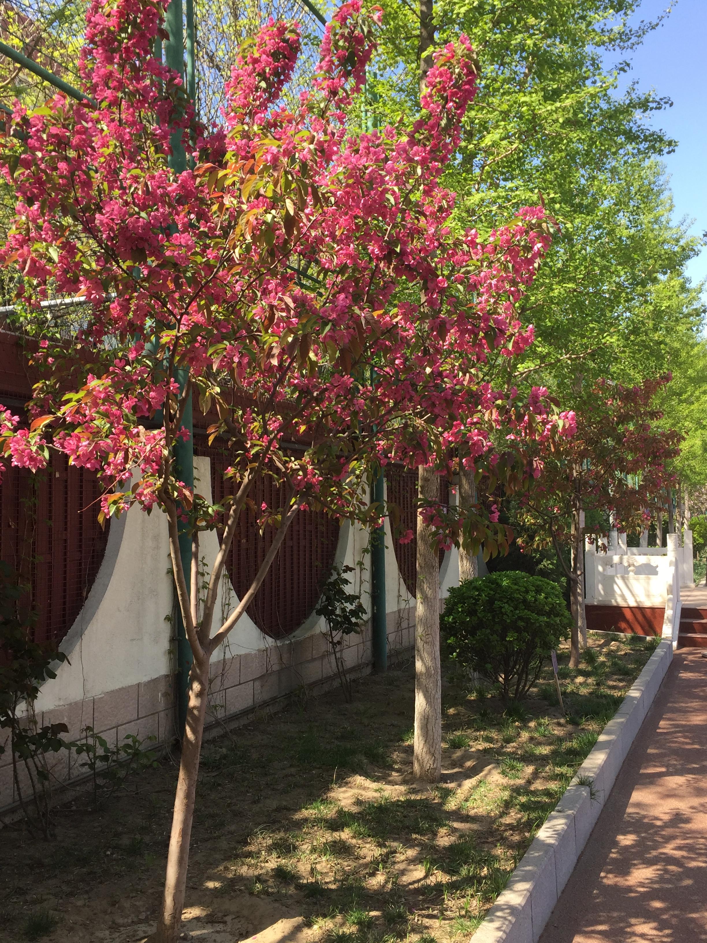 海棠(2012年3月栽种).jpg