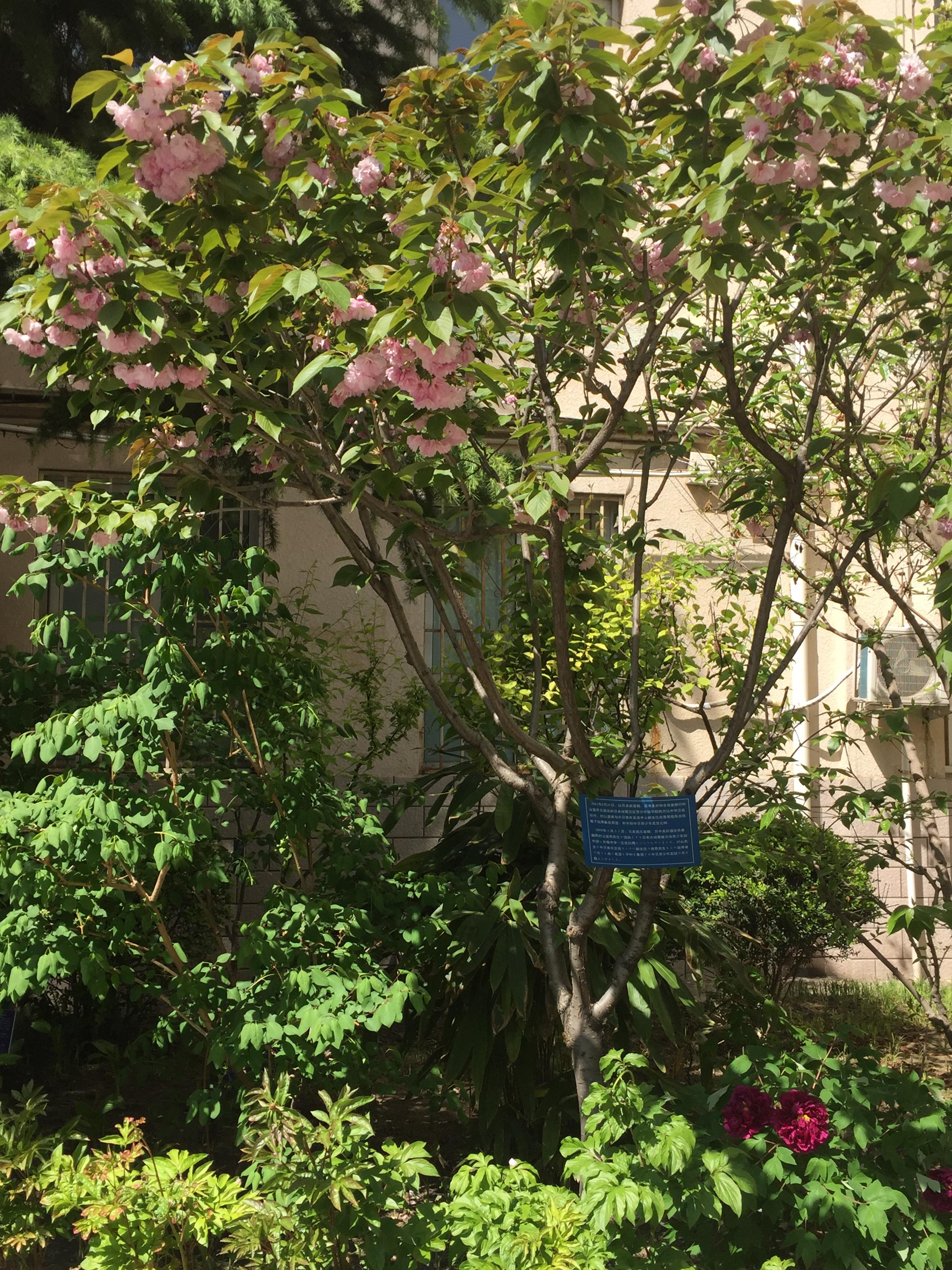 樱花树(2012年3月31日村山富市首相访问时栽种).jpg
