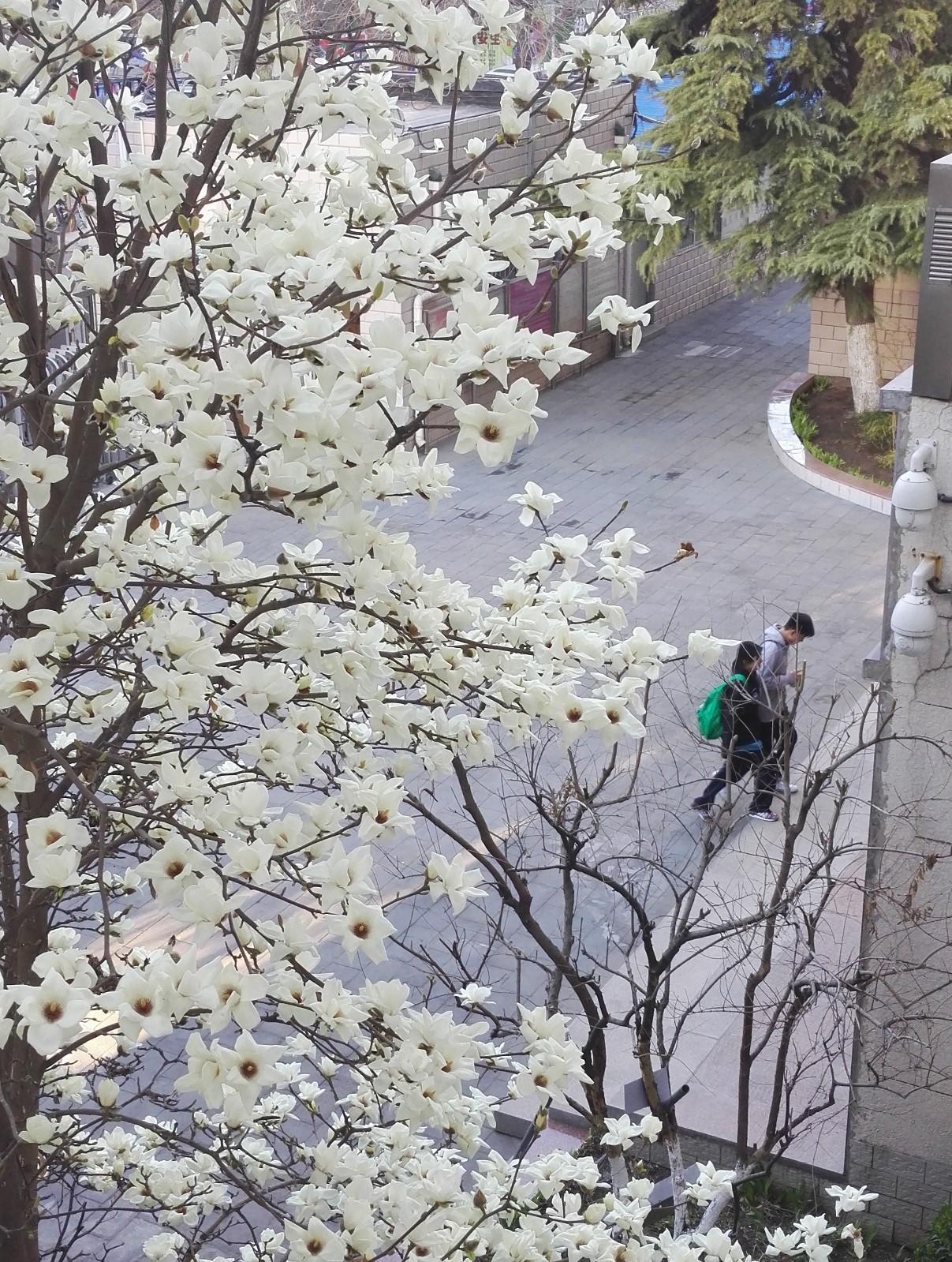 玉兰 (2001年3月栽种).jpg