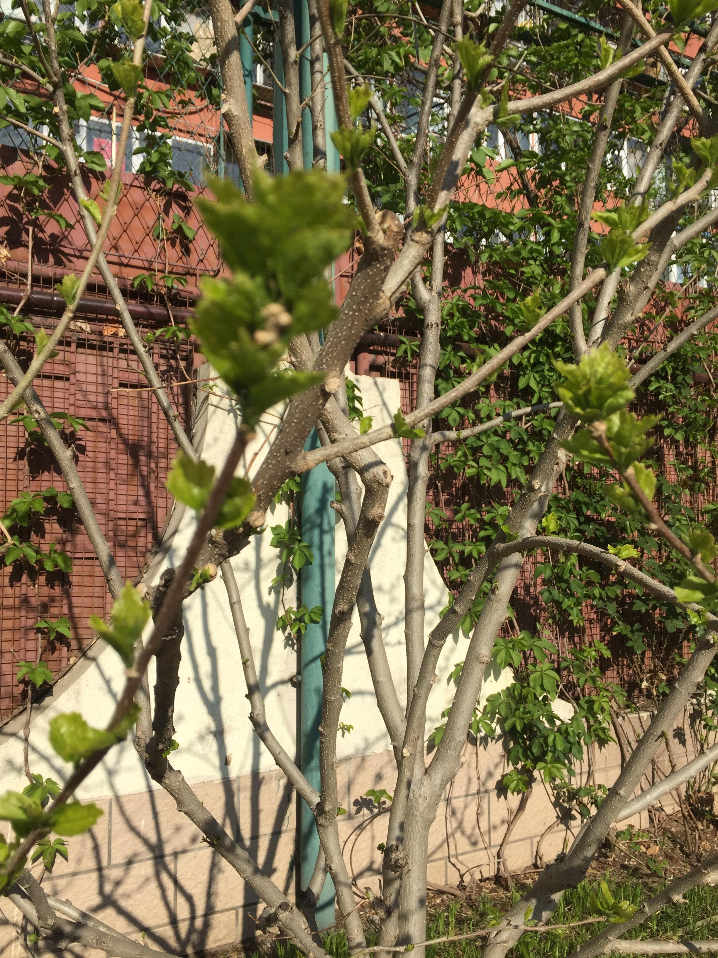 木槿(2012年4月栽种).jpg